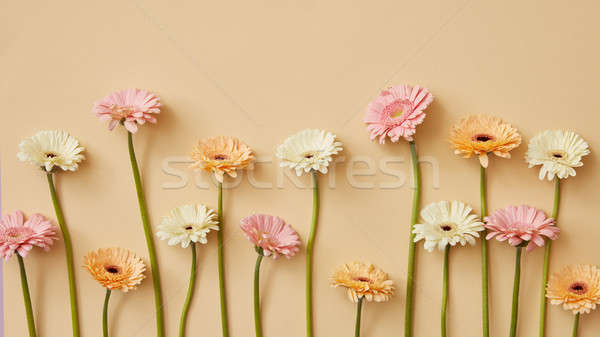 White, pink and orange gerbera flowers on a beige background as postcard. Stock photo © artjazz