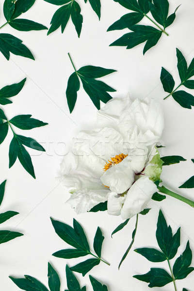 Beautiful white peony flower pattern on white Stock photo © artjazz