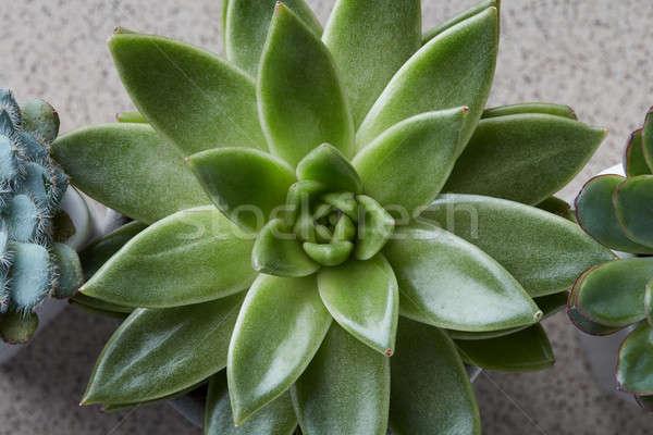 Közelkép kicsi zöld kaktusz nedvdús makró Stock fotó © artjazz