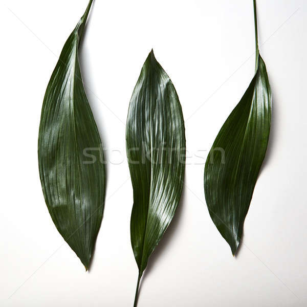 Tropical evergreen leaves three isolated on white background Stock photo © artjazz