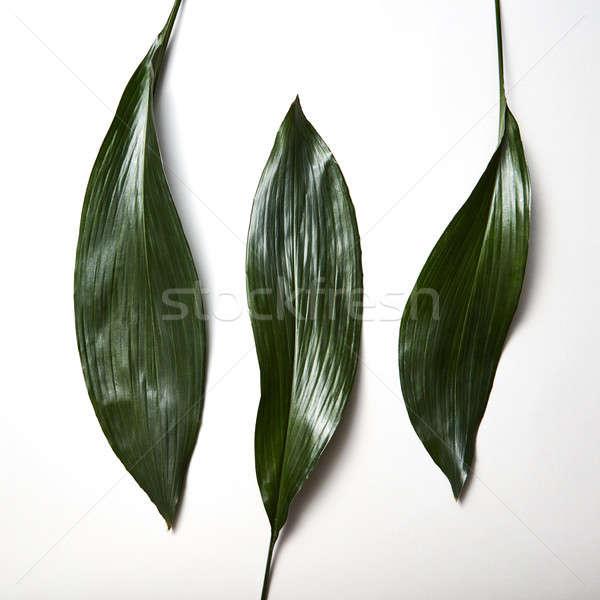 Trópusi örökzöld levelek három izolált fehér Stock fotó © artjazz