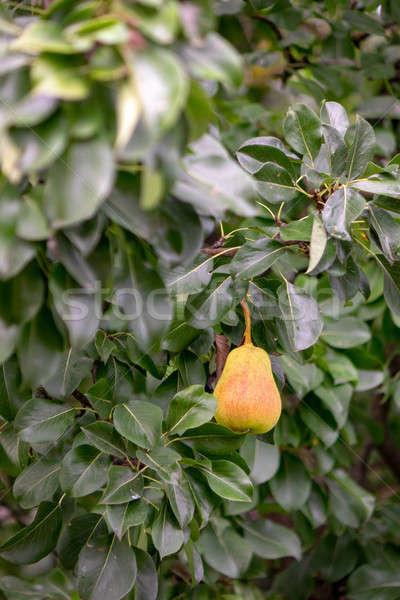 Maturo pera verde ramo giardino Foto d'archivio © artjazz