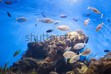 Escolas atum peixe mar foto água Foto stock © artjazz