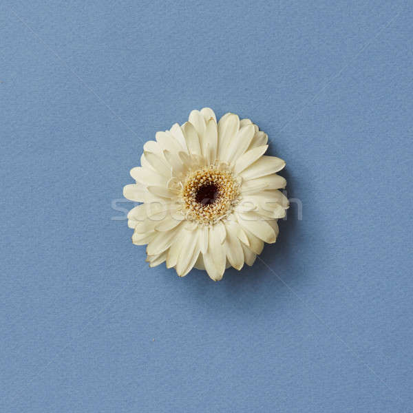 One white gerbera flower isolated on a blue background Stock photo © artjazz