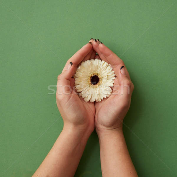 One white gerbera flower in the hands of a woman on a green paper background Stock photo © artjazz
