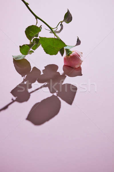 Pink rose with buds against a pink background with shadow. Stock photo © artjazz
