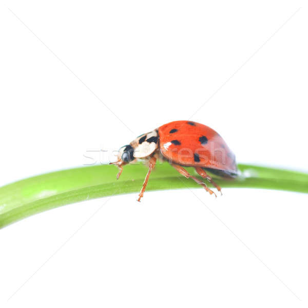 red ladybug on green grass isolated on white Stock photo © artjazz