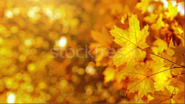 autumn yellows leaves Stock photo © artjazz