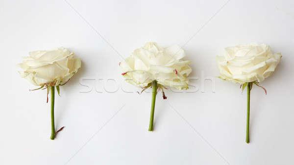 Three beautiful rose head Stock photo © artjazz