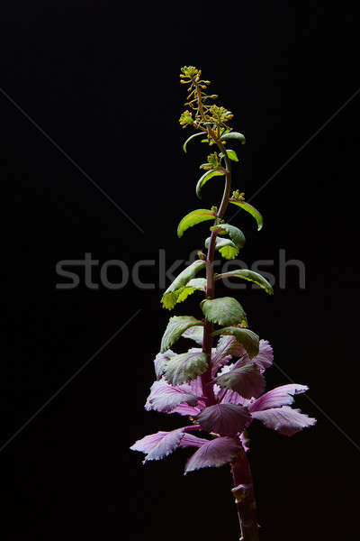 Blooming cabbage over black background Stock photo © artjazz