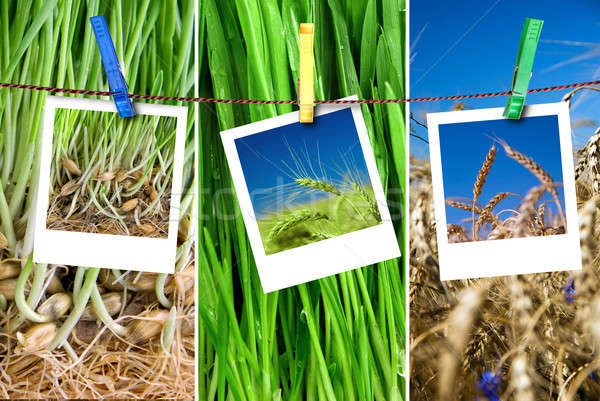 photos of wheat hang on rope with pins. Seasonal growth concept Stock photo © artjazz