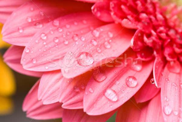 Rosa gocce d'acqua isolato bianco primavera amore Foto d'archivio © artjazz