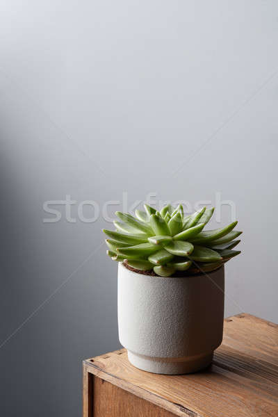 Succulent in pot on a wooden table on a white wall background with copy space Stock photo © artjazz