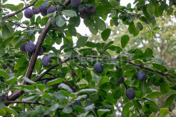 A tree with ripe organic plums in the summer garden. Harvest time Stock photo © artjazz