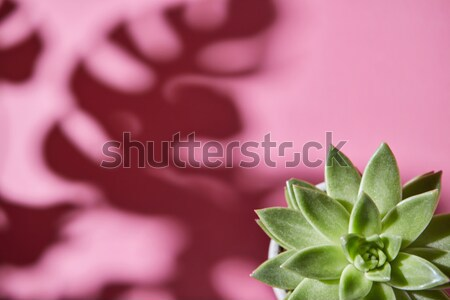 Top view shot succulent plant Echeveria with shadows from Monste Stock photo © artjazz