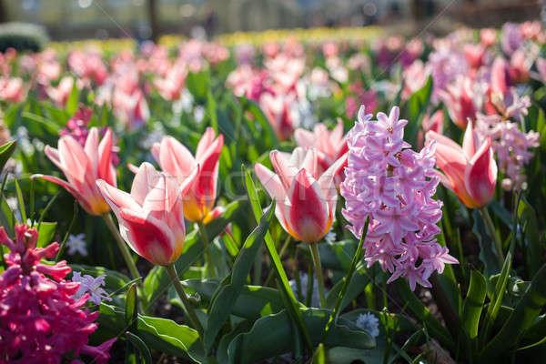 çiçekler park Hollanda bahçe Avrupa Stok fotoğraf © artjazz