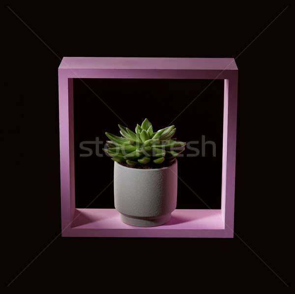 House plant echeveria in a wooden pink frame on a dark background like interior decoration Stock photo © artjazz