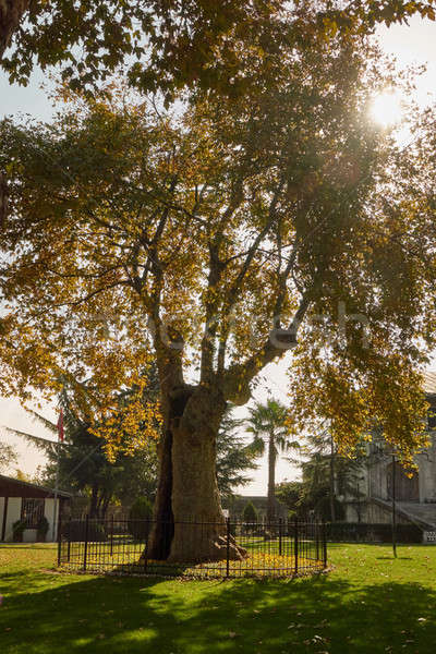 Stock photo: big old tree Istanbul, Turkey