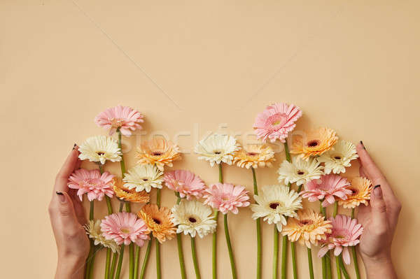 Many different gerberas female hands are held on a yellow paper background. Stock photo © artjazz