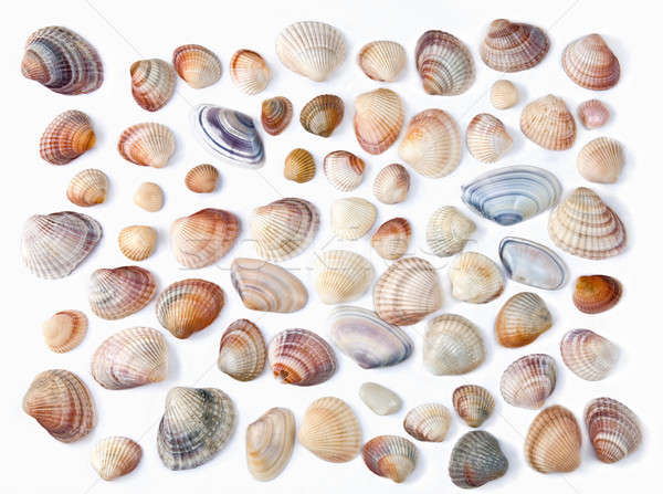 various color shell isolated on white Stock photo © artjazz