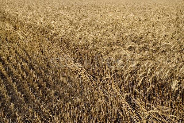 hayfield wheat background Stock photo © artjazz