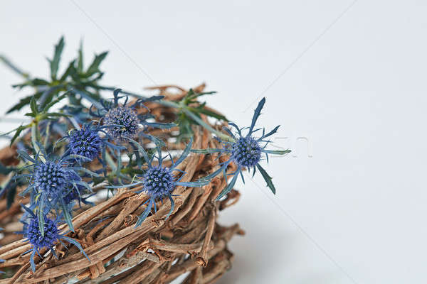 Blue flowers eryngium in a nest of branches Stock photo © artjazz