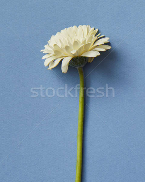 Minimalistic spring composition of a white gerbera isolated on blue paper background Stock photo © artjazz