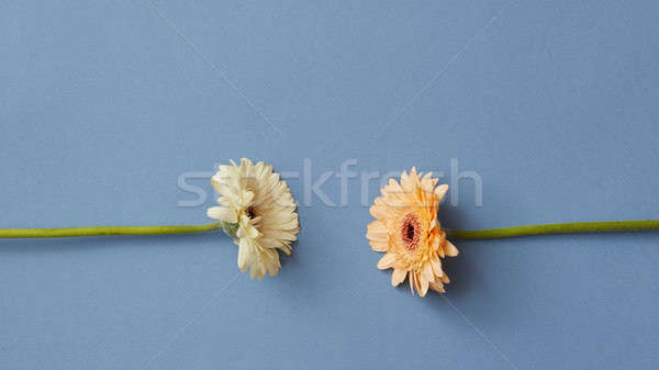 Two gerberas isolated on a blue paper background Stock photo © artjazz