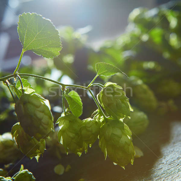 Ripe Hop cones on bush with green leaves Stock photo © artjazz