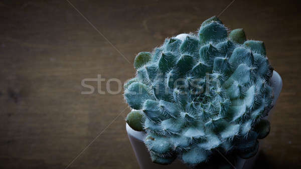 Succulent Echeveria Bristly in the flowerpot on a wooden table Stock photo © artjazz