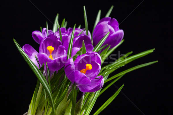 crocus bouquet on black Stock photo © artjazz