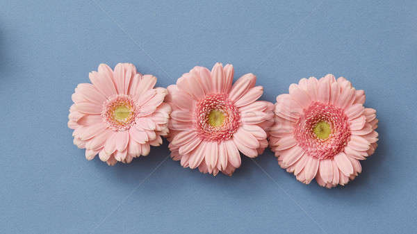 Pink gerbera isolated on a blue paper background Stock photo © artjazz