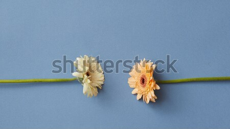 One bright orange gerbera on a blue paper background Stock photo © artjazz