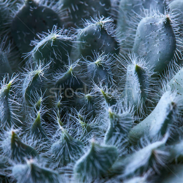 Natural background of petals Echeveria Bristly Stock photo © artjazz