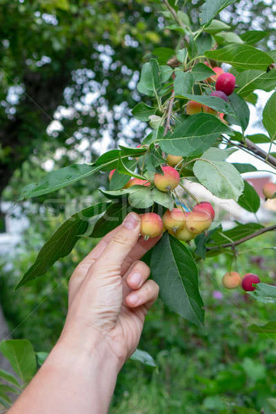 The man's hand tears off the organic paradise apple in the garden on a summer day Stock photo © artjazz