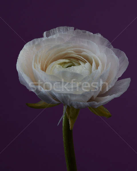 Blooming raununculus isolated on a purple background. Stock photo © artjazz