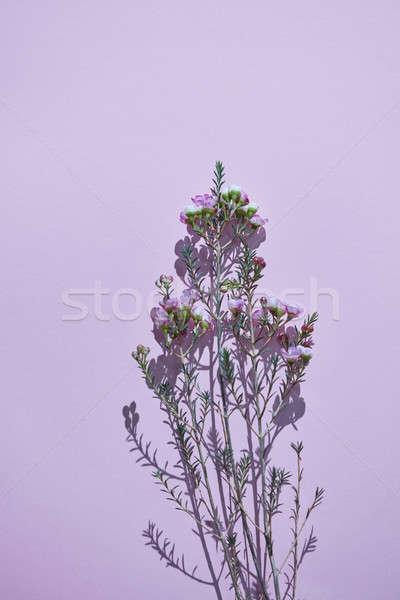 Minimalista gally tavasz rózsaszín virágok lila Stock fotó © artjazz