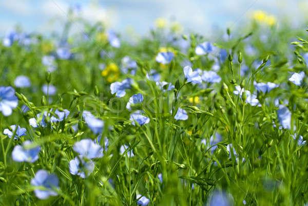 flax flowers Stock photo © artjazz