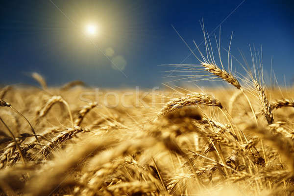 gold wheat and blue sky with sun Stock photo © artjazz