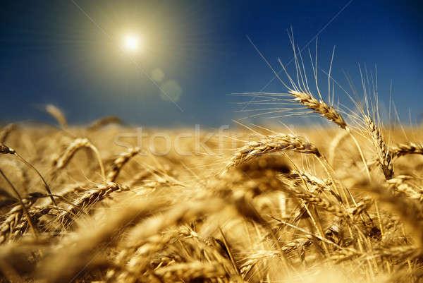 Arany búza kék ég nap égbolt fű Stock fotó © artjazz