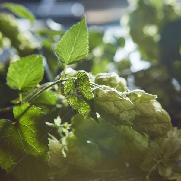 Groene hop oude houten vers Stockfoto © artjazz