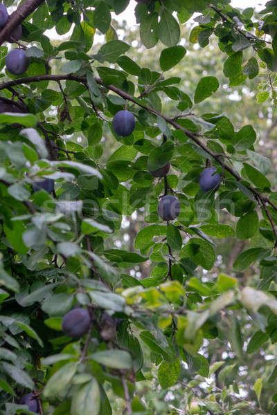 Gyümölcsfa érett szilva farm kert növekvő Stock fotó © artjazz