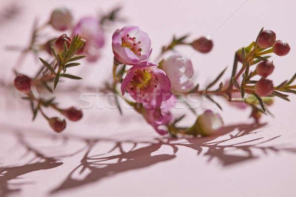 Bahar küçük pembe çiçekler gölge Stok fotoğraf © artjazz