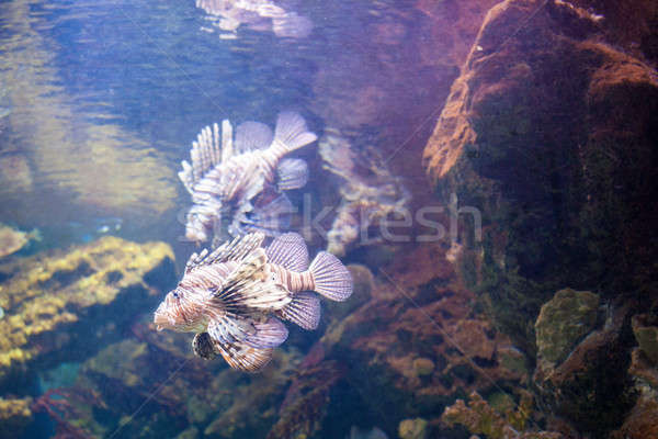 beautiful Lionfish on the coral reefs Stock photo © artjazz