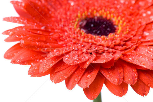 Macro of red daisy-gerbera head with water drops isolated on white Stock photo © artjazz