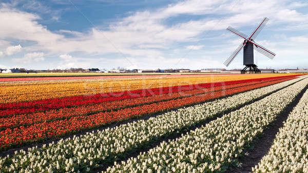 Photo stock: Moulin · à · vent · domaine · tulipes · Pays-Bas · ciel · fleur