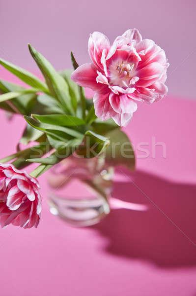 2 ピンク チューリップ 透明な 花瓶 春 ストックフォト © artjazz