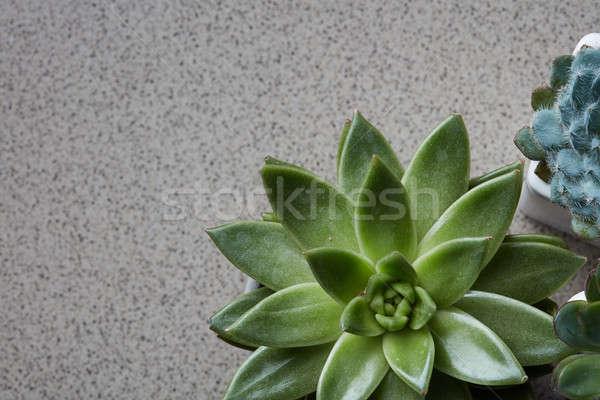 Corner frame of green succulents Echeveria on a gray stone background Stock photo © artjazz