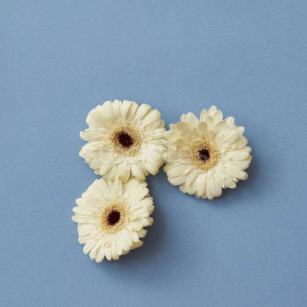 A minimalistic composition of white gerberas isolated on a blue paper background, Stock photo © artjazz