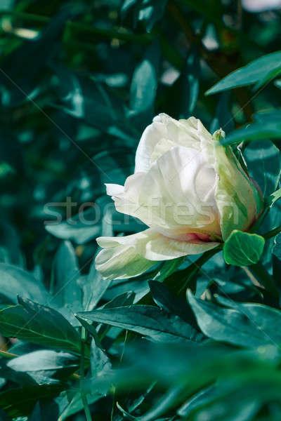 Foto stock: Macio · rosa · folhas · verdes · belo · luz